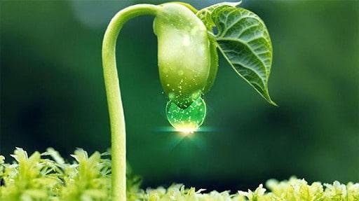 Mầm đậu nành organic